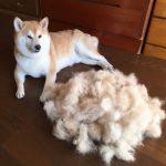 Odmiany sierści psa