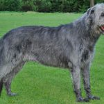 CHART IRLANDZKI (IRISH WOLFSHOUND)