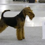 TERIER WALIJSKI (WELSH TERRIER)