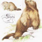 Świstak - Marmota marmota