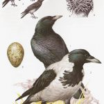 Czarnowron - Corvus corone corone