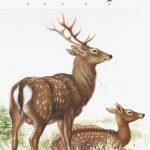 Jeleń sika - Cervus nippon