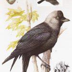 Kawka - Corvus monedula