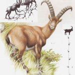 Koziorożec - Capra ibex