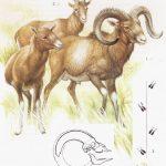 Muflon - Ovis musimon