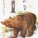 Niedźwiedź brunatny - Ursus arctos