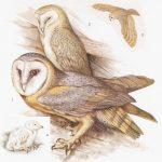 Płomykówka - Tyto alba