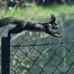 Wiewiórka - Sciurus vulgaris