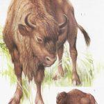 Żubr europejski - Bison bonasus